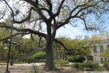 An oak tree in Congo Square, in Armstrong Park. The Municipal Auditorium is in the background.